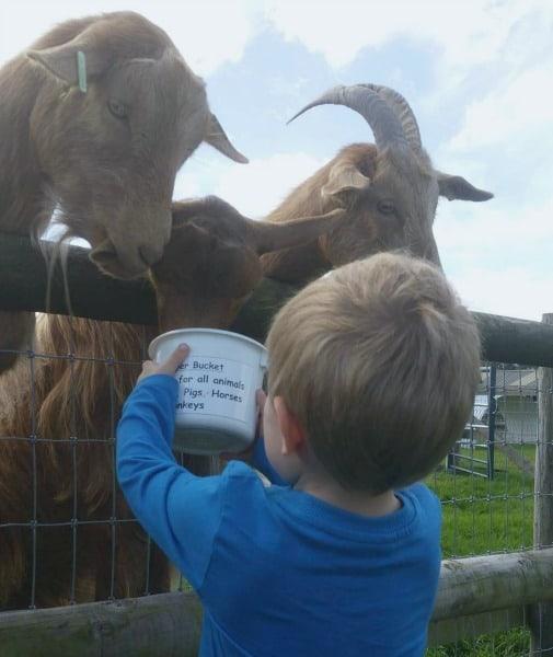Animal fun at Kington Small Breeds Farm