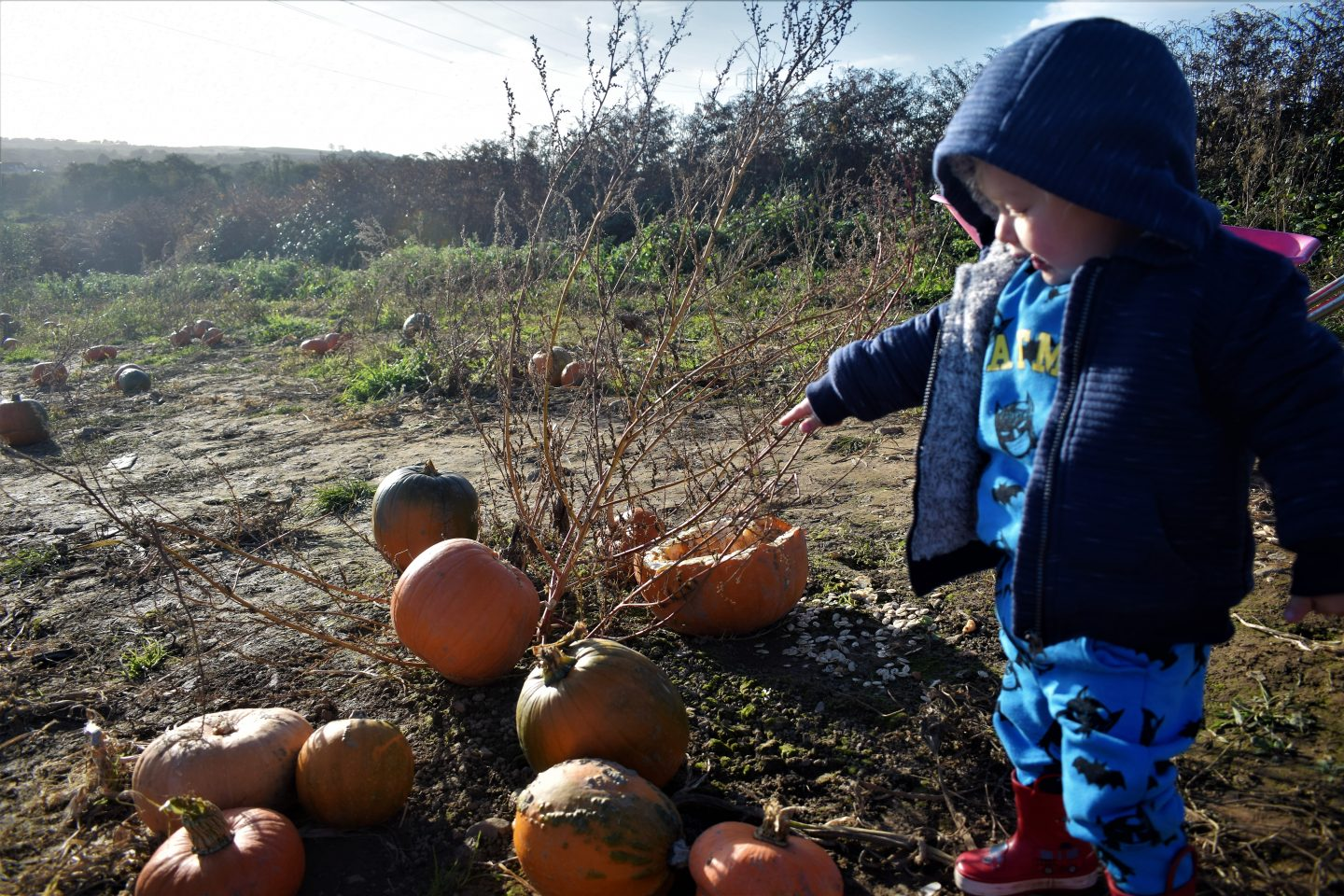 Pumpkin picking in Swansea – Penyfodau Fawr Farm pick your own fields
